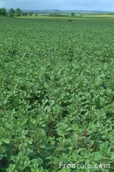 Picture of Field Beans - Free Pictures - FreeFoto.com