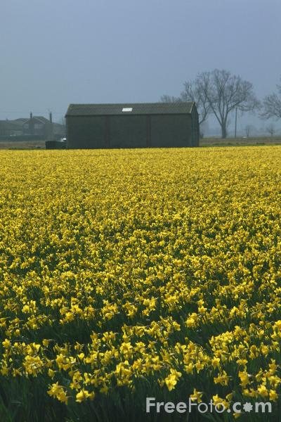 Picture of Field of Daffodils - Free Pictures - FreeFoto.com