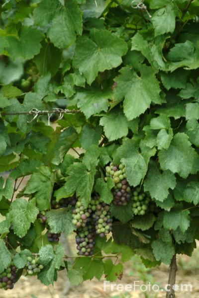 Picture of Grapes, Vineyard, France - Free Pictures - FreeFoto.com