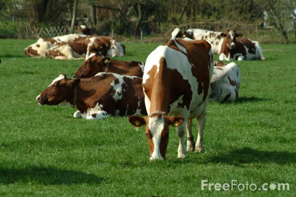 Picture of Cattle - Free Pictures - FreeFoto.com