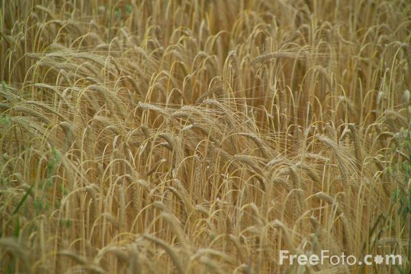 Picture of Barley - Free Pictures - FreeFoto.com