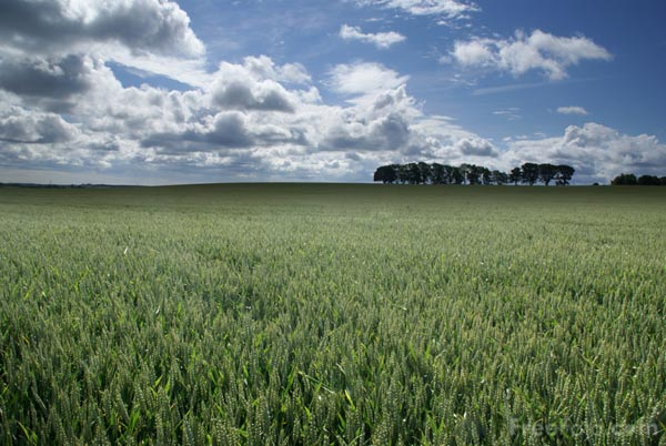 Picture of Wheat - Free Pictures - FreeFoto.com