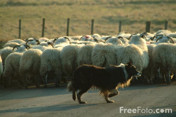Picture of Herd of sheep, Coquetdale, Northumberland - Free Pictures - FreeFoto.com
