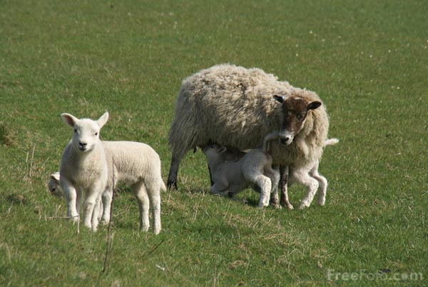 Picture of Sheep and Lamb - Free Pictures - FreeFoto.com