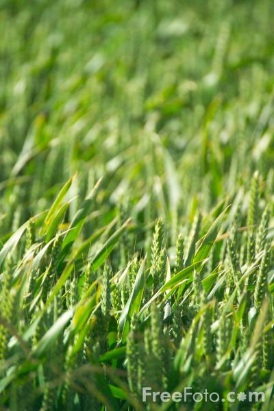 Picture of Cereal Crop - Free Pictures - FreeFoto.com