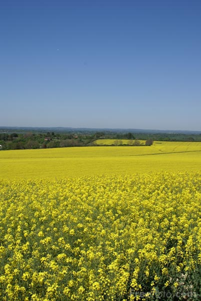 Picture of Oilseed Rape - Free Pictures - FreeFoto.com