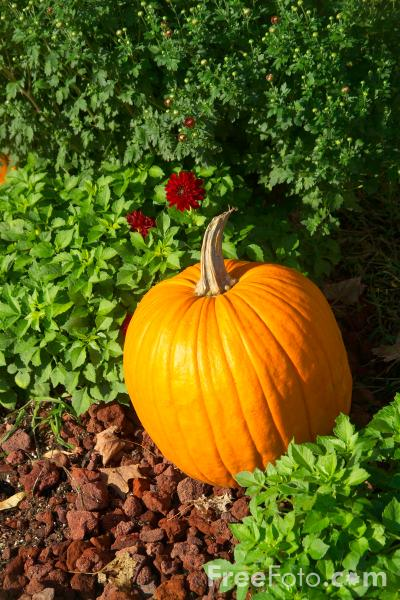 Picture of Pumpkin - Free Pictures - FreeFoto.com