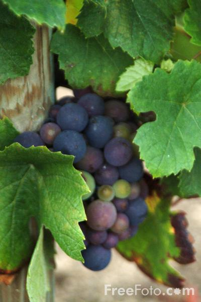 Picture of Vineyard - Free Pictures - FreeFoto.com