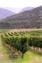 Image Ref: 10-52-71 - Vineyard, Viewed 12322 times