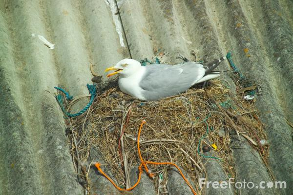 Picture of Seagull, Newlyn,  Cornwall - Free Pictures - FreeFoto.com