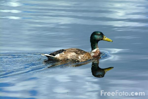 Picture of Duck, Derwent Reservoir, County Durham - Free Pictures - FreeFoto.com