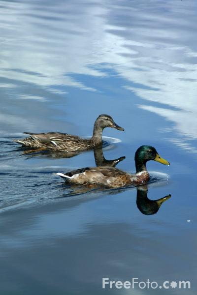 Picture of Ducks, Derwent Reservoir, County Durham - Free Pictures - FreeFoto.com