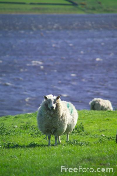 Picture of Sheep, Derwent Reservoir, County Durham - Free Pictures - FreeFoto.com