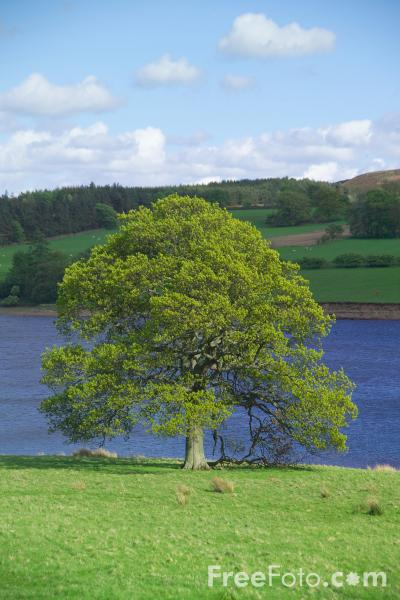 Picture of Tree, Derwent Reservoir, County Durham - Free Pictures - FreeFoto.com