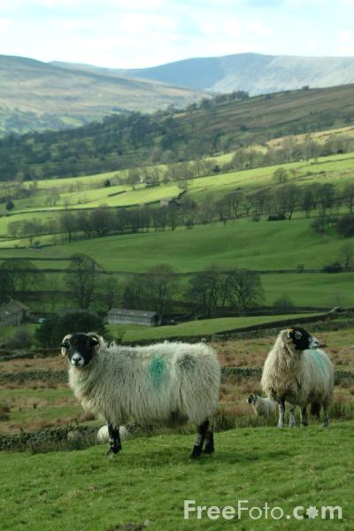 Picture of Sheep, Dentdale, Cumbria - Free Pictures - FreeFoto.com