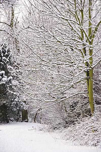 Picture of Snow Covered Branches - Free Pictures - FreeFoto.com