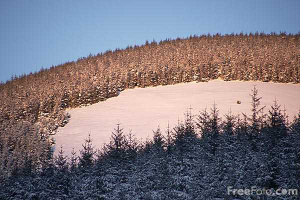 Picture of Pine Forest in the Snow - Free Pictures - FreeFoto.com