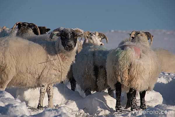 Picture of Sheep in the snow - Free Pictures - FreeFoto.com