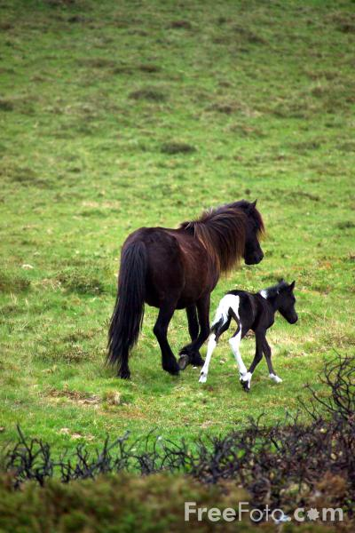 Picture of Dartmoor Pony, Dartmoor, Devon - Free Pictures - FreeFoto.com