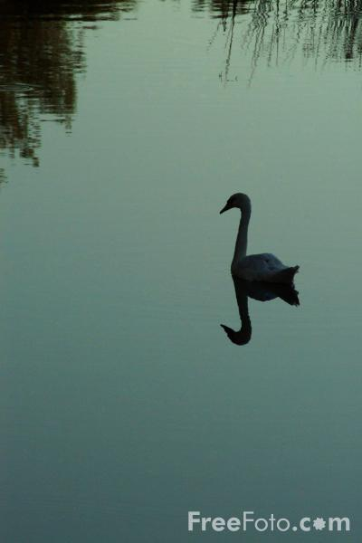 Picture of Swan, River Stour, Sturminster Newton, Dorset - Free Pictures - FreeFoto.com