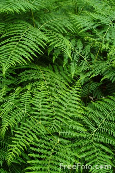 Picture of Ferns, New Forest, Hampshire - Free Pictures - FreeFoto.com