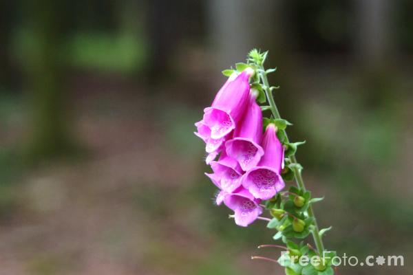 Picture of Foxgloves, New Forest, Hampshire - Free Pictures - FreeFoto.com