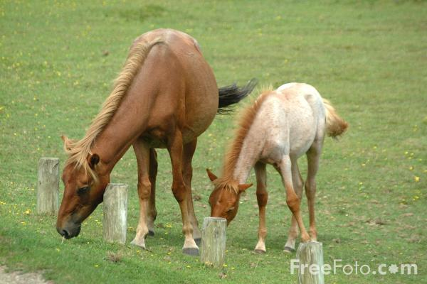 Picture of New Forest Ponies - Free Pictures - FreeFoto.com