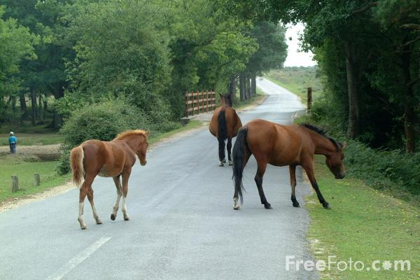 Picture of The New Forest, Hampshire - Free Pictures - FreeFoto.com