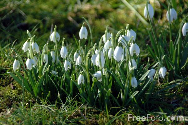 Picture of Snowdrops, Slaley - Free Pictures - FreeFoto.com