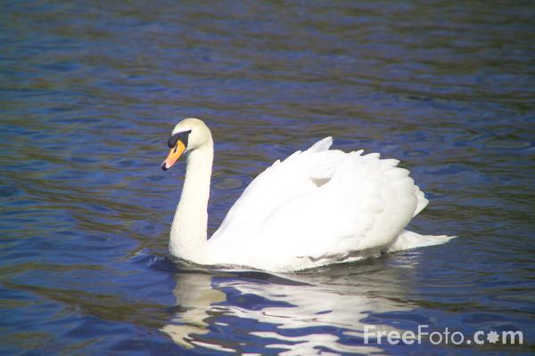 Picture of Swan, Bolam Lake Country Park - Free Pictures - FreeFoto.com