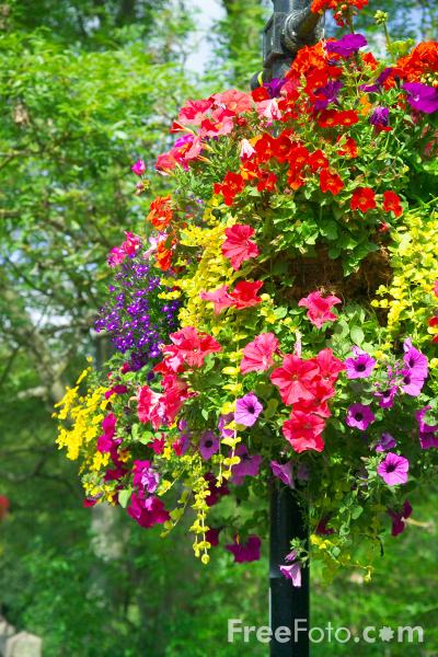 Picture of Hanging Baskets - Free Pictures - FreeFoto.com