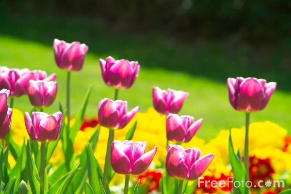 Picture of Tulips, Saltwell Park, Gateshead, Tyne and Wear - Free Pictures - FreeFoto.com