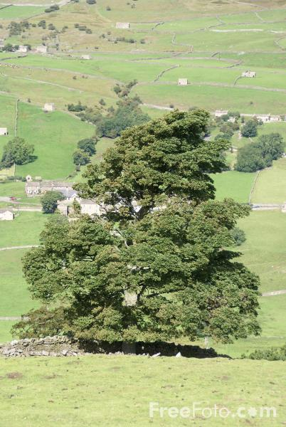 Picture of Tree, Swaledale, North Yorkshire - Free Pictures - FreeFoto.com