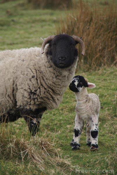 Picture of Sheep & Lamb, The Yorkshire Dales - Free Pictures - FreeFoto.com