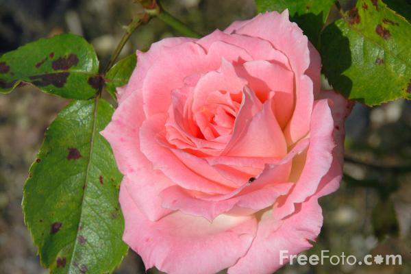 Picture of Rose - Free Pictures - FreeFoto.com