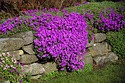 Image Ref: 12-04-11 - Rockery Plants, Viewed 43620 times
