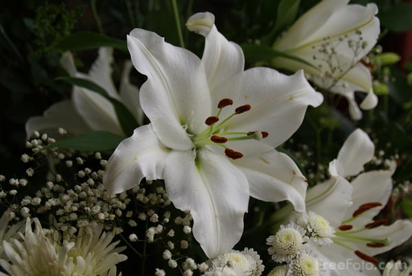 White Lily Pictures Free Use Image 12 12 14 By Freefoto Com