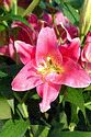 Image Ref: 12-12-54 - Lily, Viewed 7809 times