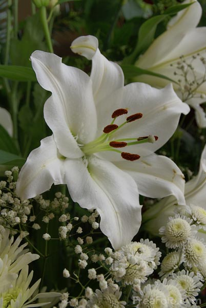 Picture of White Lily - Free Pictures - FreeFoto.com