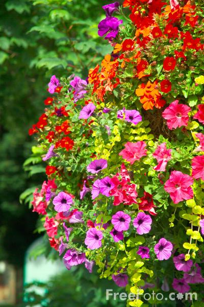 Picture of Hanging Basket - Free Pictures - FreeFoto.com
