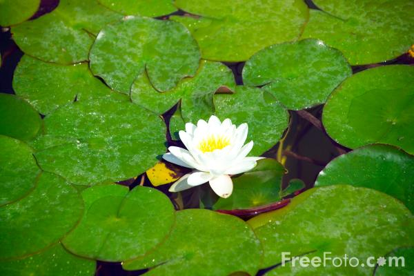 Picture of Water Lily - Free Pictures - FreeFoto.com