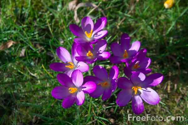 Picture of Spring Crocus - Free Pictures - FreeFoto.com