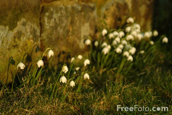 Picture of Snowdrops - Free Pictures - FreeFoto.com