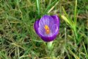 Image Ref: 12-32-10 - Crocuses, Viewed 7882 times