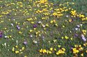 Image Ref: 12-32-12 - Crocuses, Viewed 6066 times