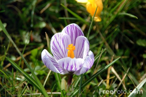 Picture of Crocuses - Free Pictures - FreeFoto.com