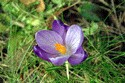 Image Ref: 12-32-1 - Crocuses, Viewed 10077 times