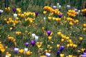 Image Ref: 12-32-20 - Crocuses, Viewed 8490 times