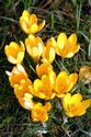 Image Ref: 12-32-52 - Crocuses, Viewed 10284 times