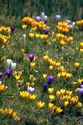 Image Ref: 12-32-56 - Crocuses, Viewed 6911 times
